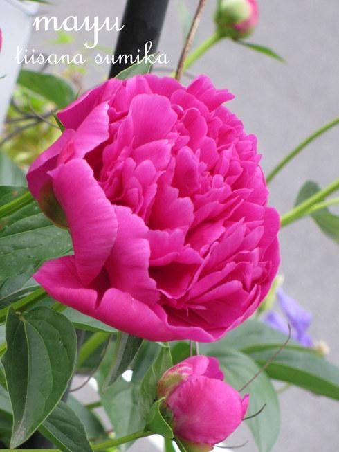 初夏の花壇♪_a0243064_2191161.jpg