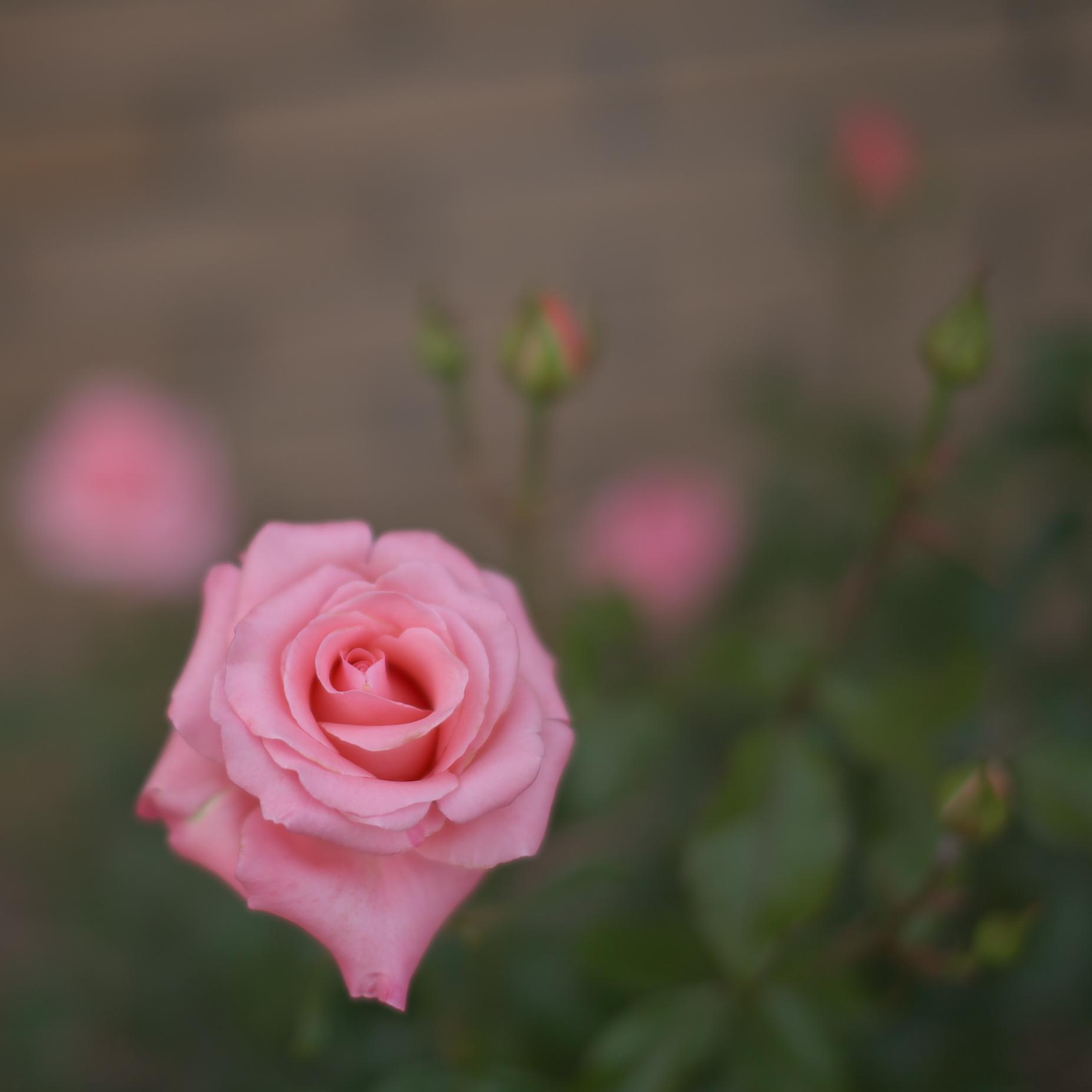 薔薇 2012_f0021869_0452393.jpg