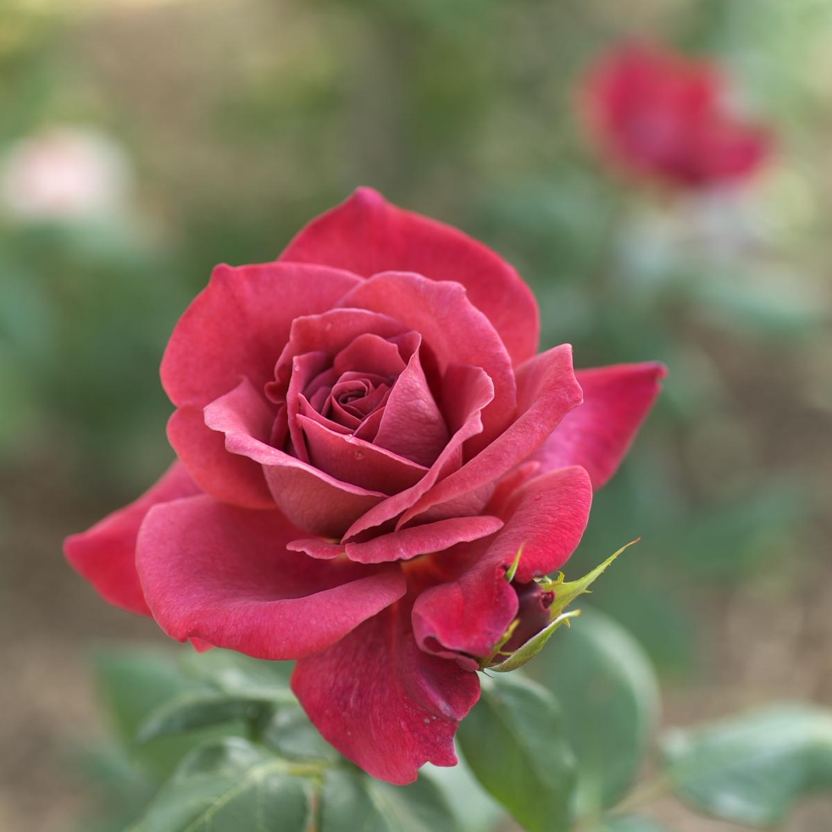薔薇 2012_f0021869_0462434.jpg