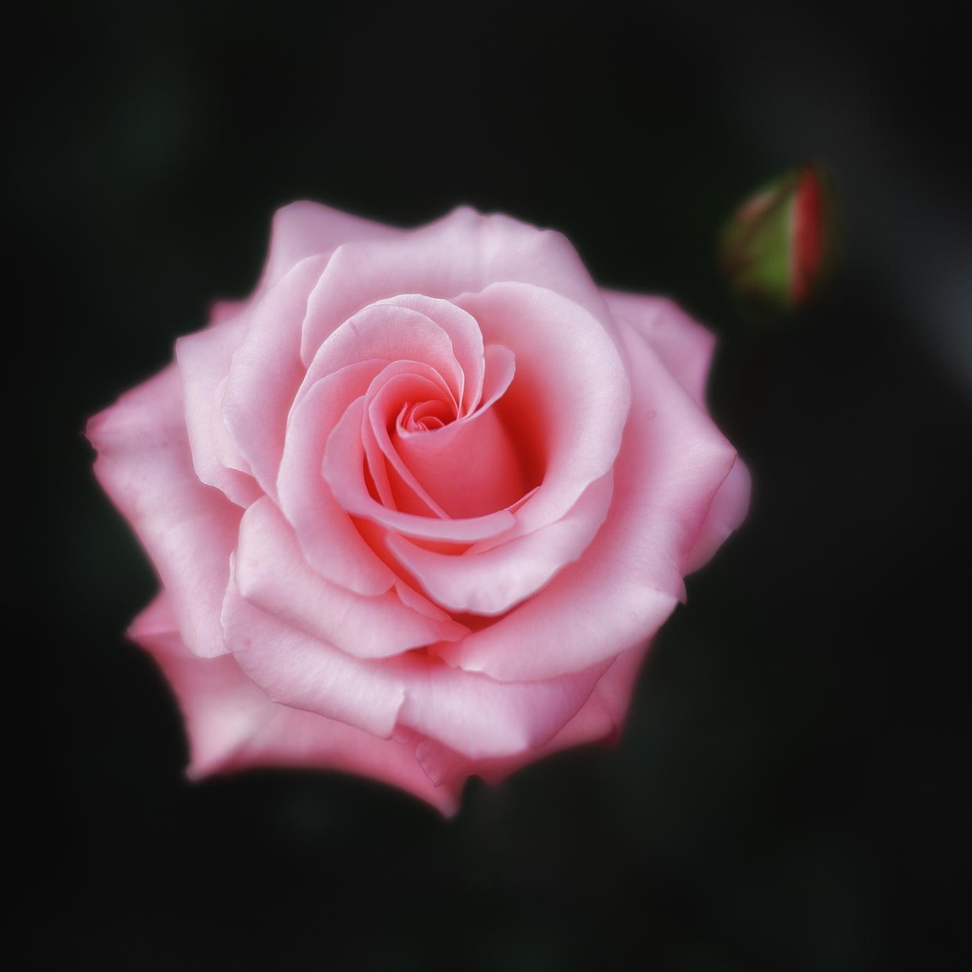 薔薇 2012_f0021869_047564.jpg