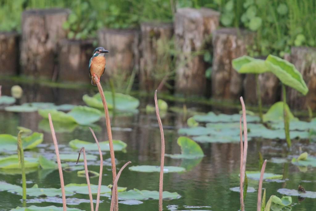 蓮池のカワセミ/デジスコで土星を/ジャガイモの花_b0024798_17381945.jpg