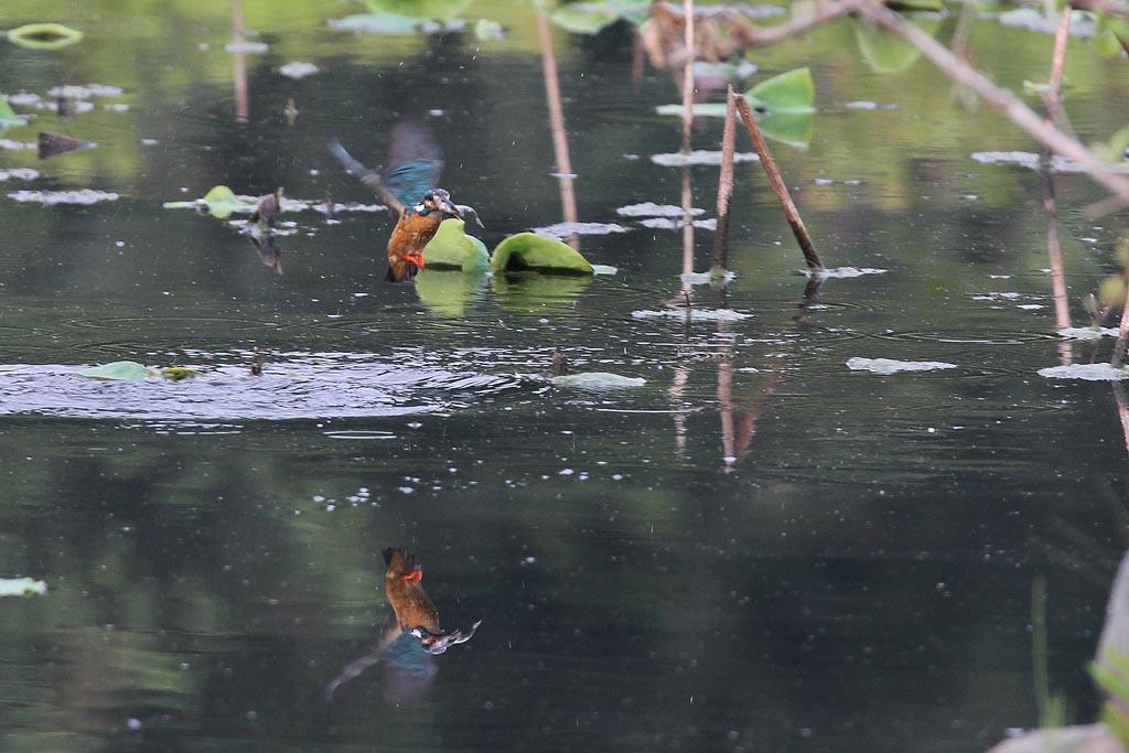蓮池のカワセミ/デジスコで土星を/ジャガイモの花_b0024798_17391284.jpg