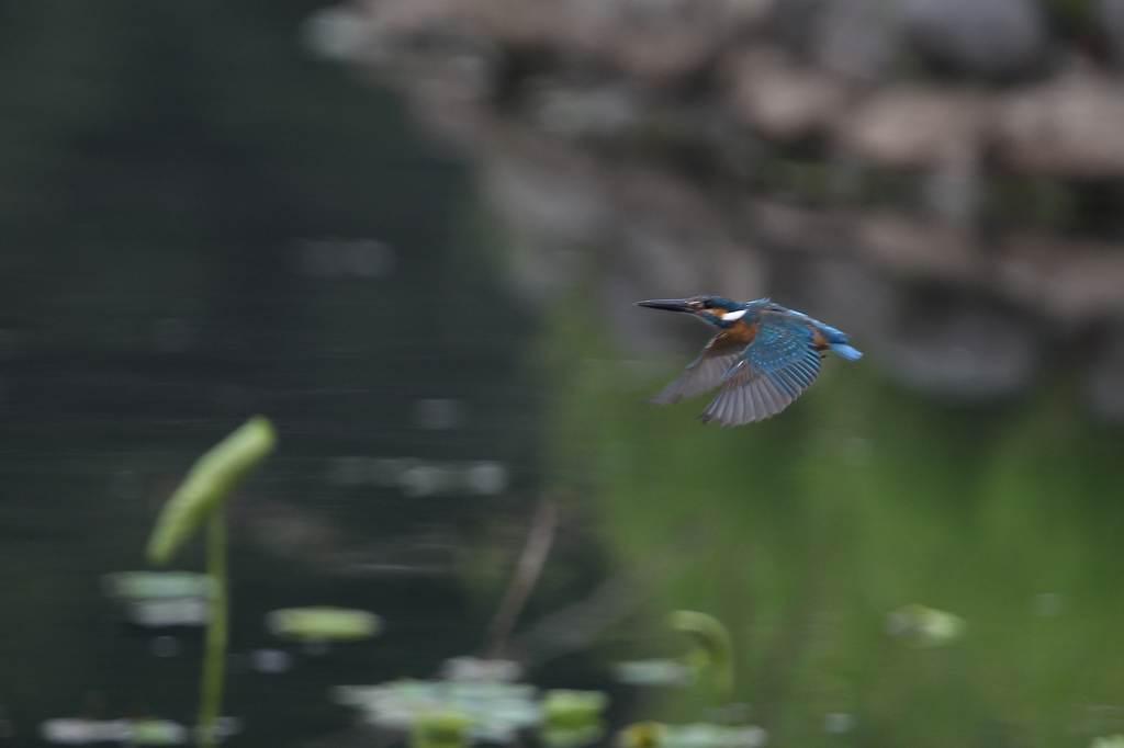 蓮池のカワセミ/デジスコで土星を/ジャガイモの花_b0024798_174014100.jpg