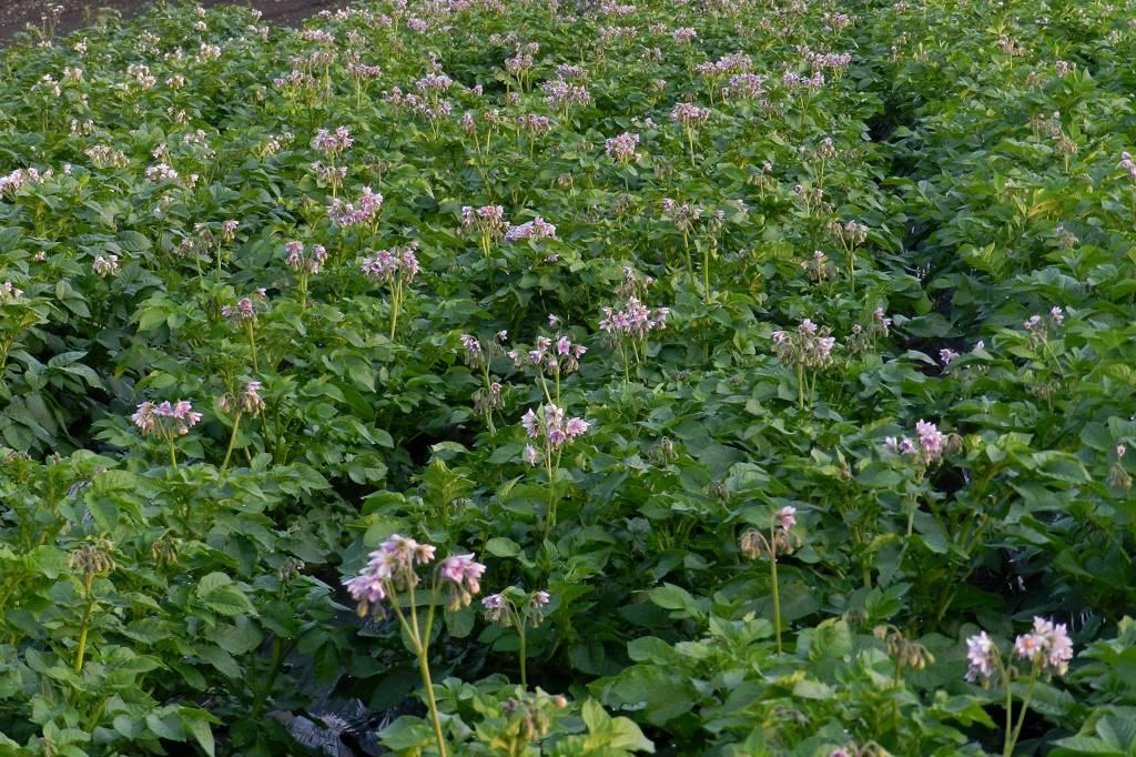 蓮池のカワセミ/デジスコで土星を/ジャガイモの花_b0024798_17484230.jpg