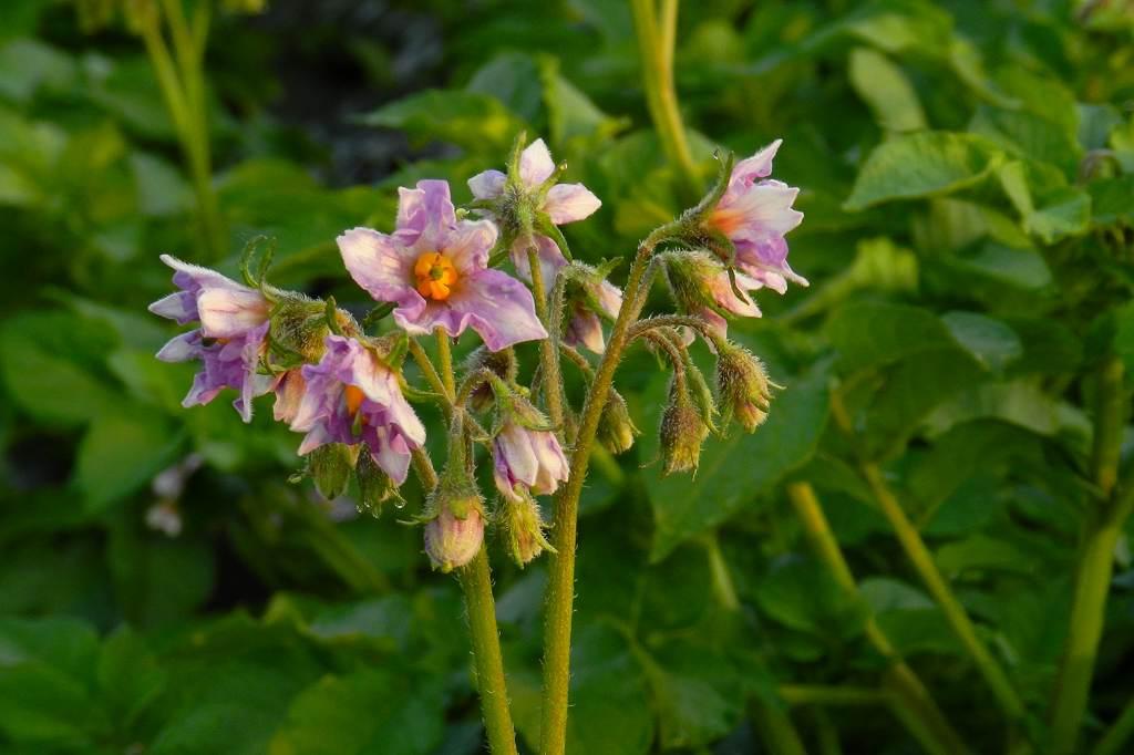 蓮池のカワセミ/デジスコで土星を/ジャガイモの花_b0024798_17485052.jpg