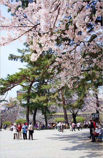 小田原城址公園の桜_b0145398_11145527.jpg