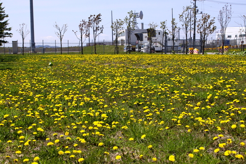 空港周辺の花便り 5月21日_f0113639_1133586.jpg