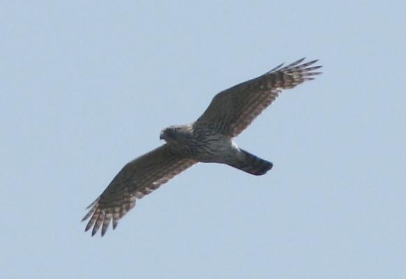 ★まだオオタカがいました/先週末の鳥類園(2012.5.19~20)_e0046474_15442238.jpg