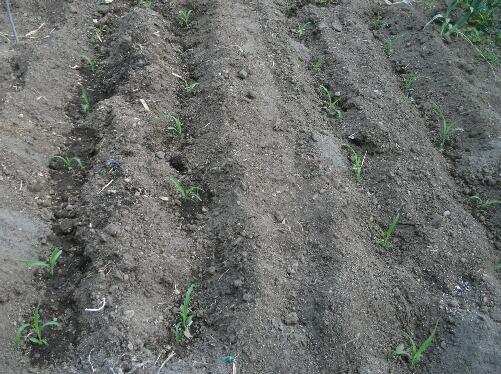トウモロコシの溝植えとサツマイモのマルチ _f0018078_18593917.jpg