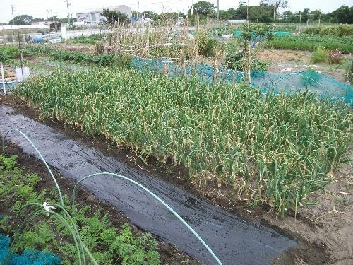 トウモロコシの溝植えとサツマイモのマルチ _f0018078_1901996.jpg