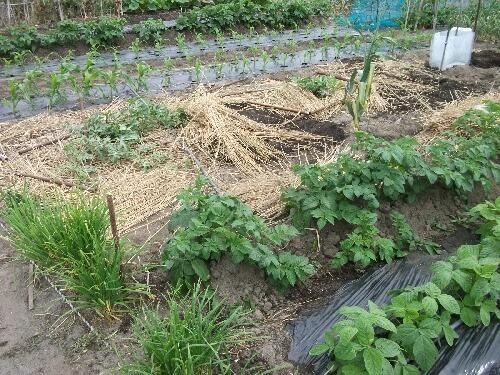 トウモロコシの溝植えとサツマイモのマルチ _f0018078_190419.jpg