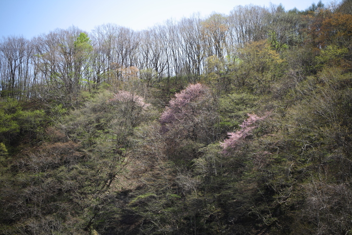 福島 桜巡り 下郷町・戸赤の山桜 ラスト_e0165983_10255632.jpg