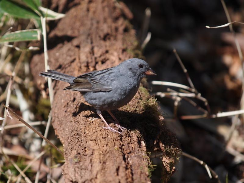 5月12日~13日にかけて、大菩薩峠から奥多摩にかけて野鳥観察に出掛けて... 繁殖していたクロ