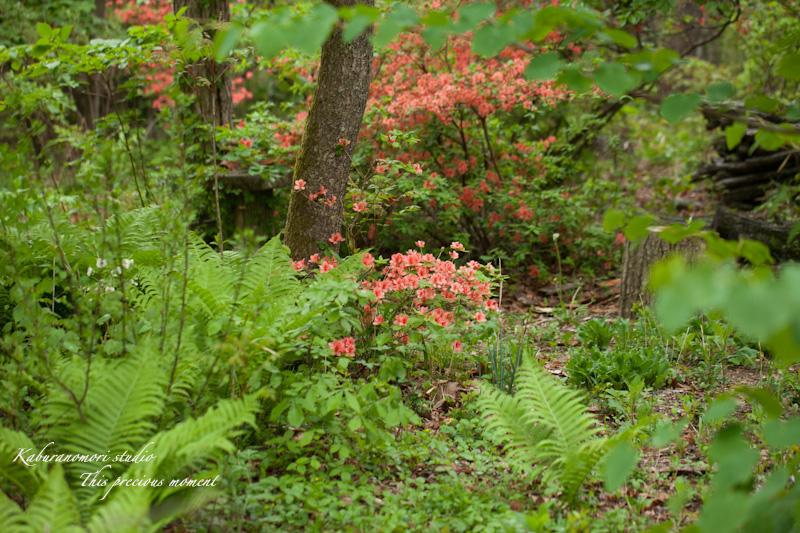 五月上旬新緑と山ツツジの頃やっと暖ったか_c0137403_18501093.jpg