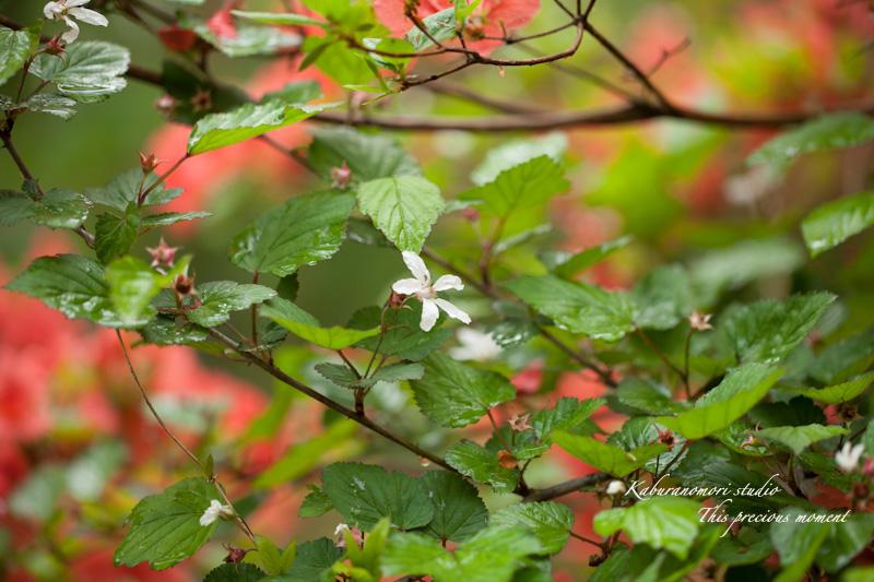 五月上旬新緑と山ツツジの頃やっと暖ったか_c0137403_18575471.jpg