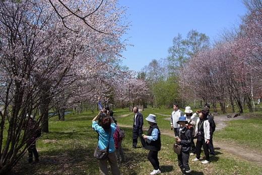 2012年5月22 日(火):早めに咲いたサクラが散り始めた [中標津町郷土館]_e0062415_2075581.jpg