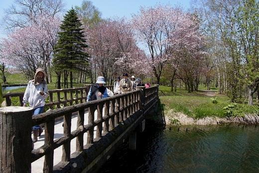 2012年5月22 日(火):早めに咲いたサクラが散り始めた [中標津町郷土館]_e0062415_208721.jpg