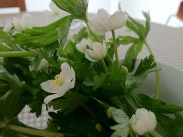 北海道の山菜2012年 ① 雪笹 いらくさ そして 二輪草_e0134337_13212099.jpg
