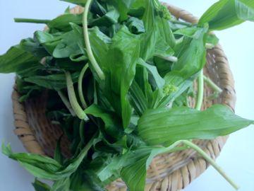 北海道の山菜2012年 ① 雪笹 いらくさ そして 二輪草_e0134337_1322141.jpg