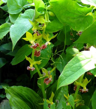 庭のクマガイソウとエビネ。側溝花壇のチシマキンバイなど_a0136293_20132811.jpg