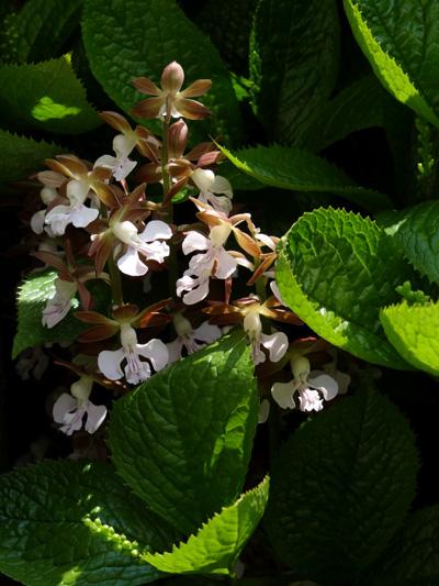 庭のクマガイソウとエビネ。側溝花壇のチシマキンバイなど_a0136293_20244176.jpg