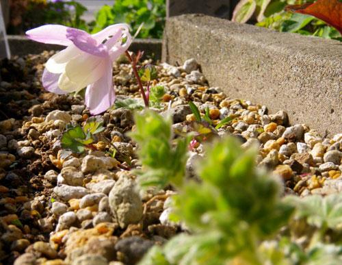 庭のクマガイソウとエビネ。側溝花壇のチシマキンバイなど_a0136293_2030928.jpg