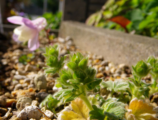 庭のクマガイソウとエビネ。側溝花壇のチシマキンバイなど_a0136293_2031127.jpg