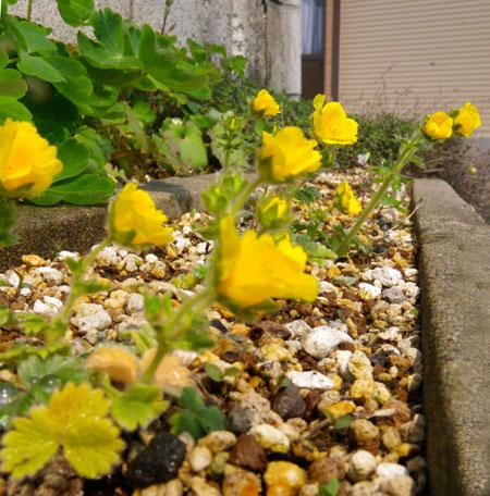 庭のクマガイソウとエビネ。側溝花壇のチシマキンバイなど_a0136293_20315697.jpg