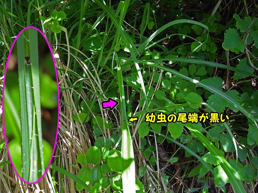 キマダラセセリ幼虫_e0253104_2240547.jpg