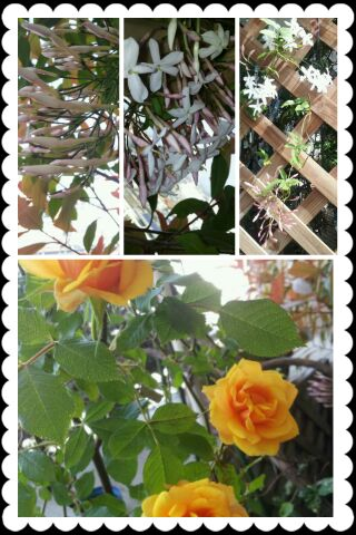 rose & jasmine_d0049817_10455589.jpg