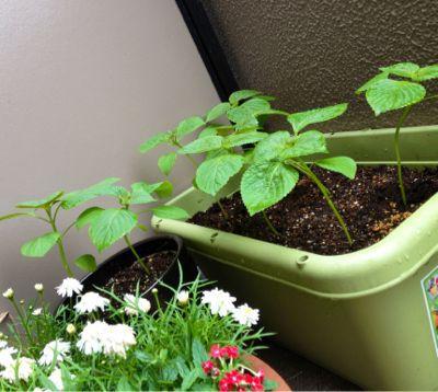 家庭菜園続いています (iPhoneより)_e0133535_0171061.jpg