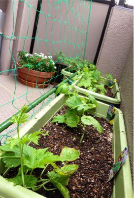 家庭菜園続いています (iPhoneより)_e0133535_017662.jpg