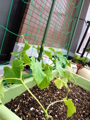 家庭菜園続いています (iPhoneより)_e0133535_017718.jpg