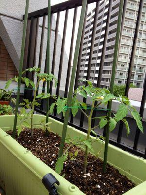 家庭菜園続いています (iPhoneより)_e0133535_017836.jpg