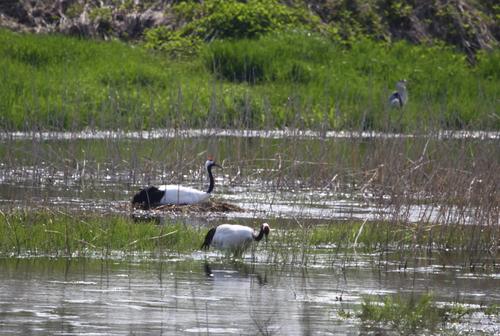 コッタロ湿原とこむら返りの夜 5月23日_f0113639_1544147.jpg