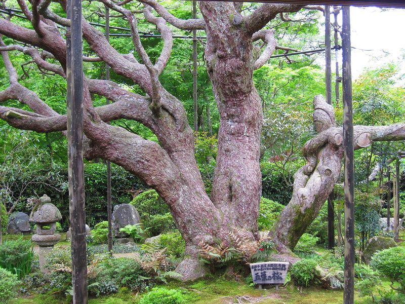 大原宝泉院の「額縁の五葉松」_e0237645_22215480.jpg