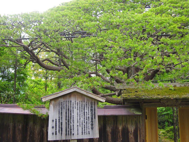 大原宝泉院の「額縁の五葉松」_e0237645_22221160.jpg