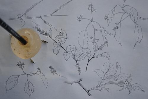 植物を描く_d0101846_5574763.jpg