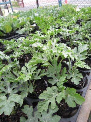 夏の家庭菜園の準備_c0141652_1327579.jpg