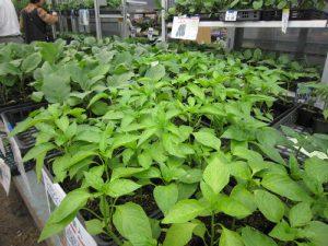 夏の家庭菜園の準備_c0141652_132834.jpg