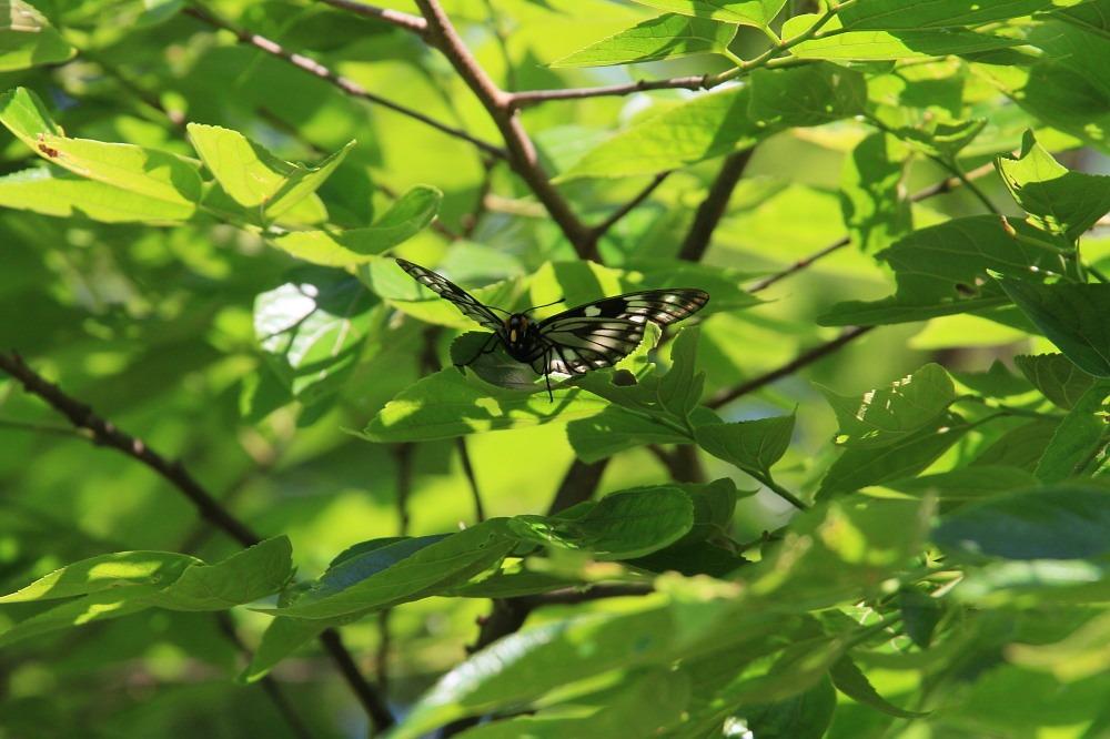 ミヤマカラスアゲハ  春型♀雌との邂逅  2012.5.19埼玉県②_a0146869_535451.jpg
