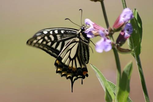 セージと蝶。ナツミカンの花_f0030085_2014574.jpg