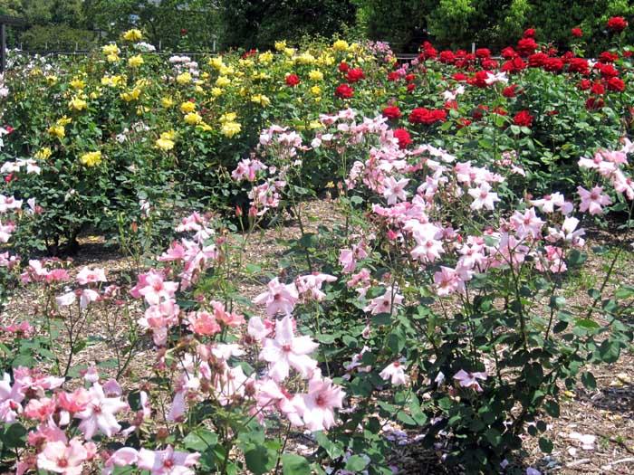若園公園バラ園_e0016894_2251991.jpg