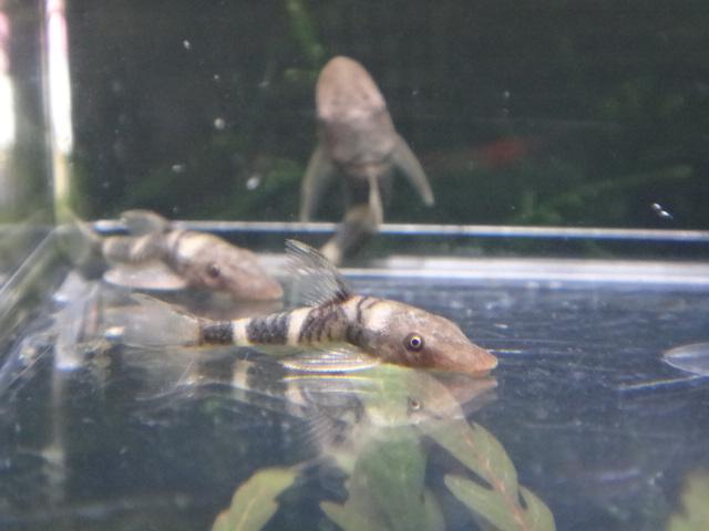 120524 熱帯魚・水草・金魚_f0189122_1257421.jpg