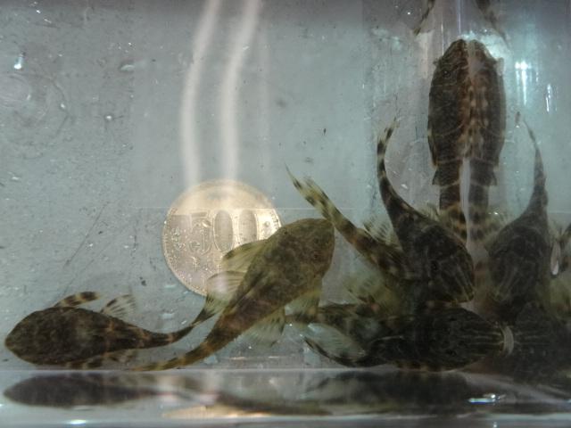 120524 熱帯魚・水草・金魚_f0189122_1303352.jpg