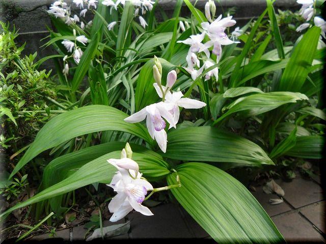 我家の紫蘭・・・。_e0054438_18522352.jpg