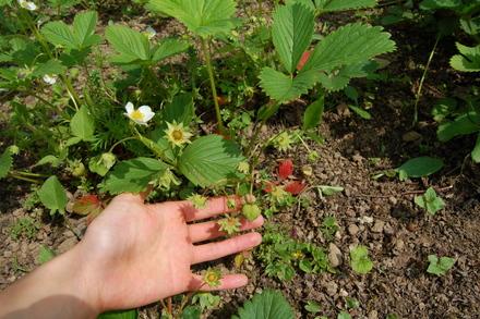 お庭のイチゴ_d0249047_14535515.jpg