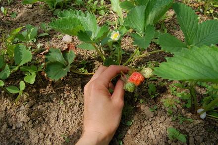 お庭のイチゴ_d0249047_14545811.jpg