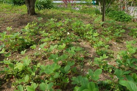 お庭のイチゴ_d0249047_1454972.jpg