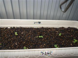 先日、子供たちと「ひまわり」のたねを植えました!_c0131666_2223540.jpg